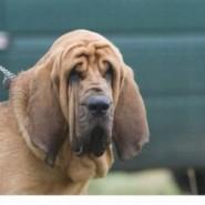 Estornudos y moqueo en los perros