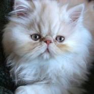 Características del gato Himalayo