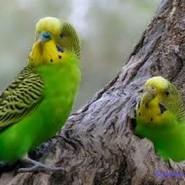 Cómo se puede distinguir los pericos australianos hembras de los machos