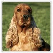 Cuidados básicos del perro de raza Cocker Spaniel