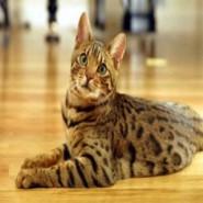 Enfermedades comunes en gatos Tabby o  atigrados