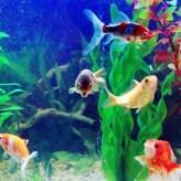 Los peces tropicales y los cuidados de su pecera