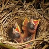 Como se deben cuidar los pichones de las aves