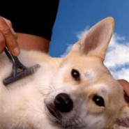 Como debemos peinar nuestra mascota