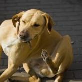 Como se debe tratar la sarna canina