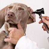 Acaros en las Orejas de perros y gatos, como debe ser el tratamiento