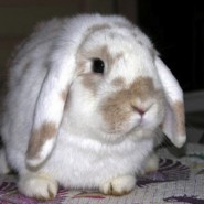 Acaros en oidos de los conejos