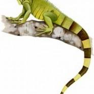 Alimentos básicos para las iguanas verdes