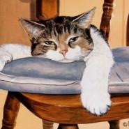 Como tratar la anemia en gatos, algunos consejos