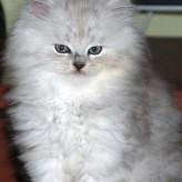 Gato Angora y los cuidados de su pelaje