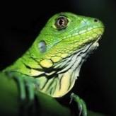 Prevenir enfermedades en Iguanas