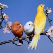 Cuidados y alimentación del canario