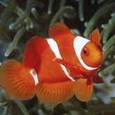Peces payaso para embellecer tu acuario