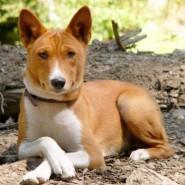 Perro de raza Basenji