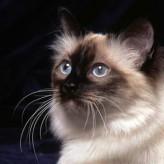 Razas de gatos ideales para niños