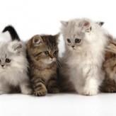 Consejos para la adopción de un Gato