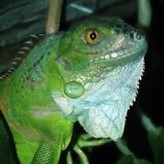 Curiosidades y alimentación de las Iguanas