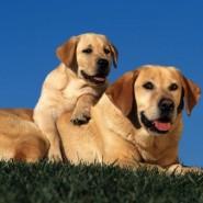 Evitar la obesidad del perro Labrador