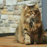 La Osteoartrosis en Gatos