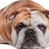 La dieta para perros con sobrepeso