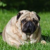 Las Mascotas y el Sobrepeso
