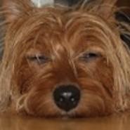 Perro de raza Australian Terrier