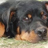 Cuidados del Rottweiler