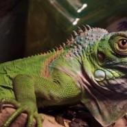 Alimentación de Iguanas