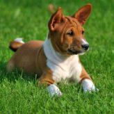 Comportamiento de la raza de perro Basenji