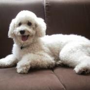 El French Poodle