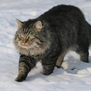 El Gato Alemán de pelo largo