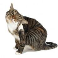 Las garrapatas en los gatos