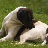 Las pulgas y las enfermedades en mascotas