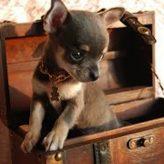 Los Chihuahuas y su Popularidad