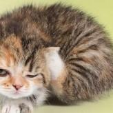 Acaros en los Gatos