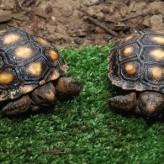 Alimentación de las Tortugas domesticas