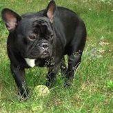Cuidados del Bulldog Francés