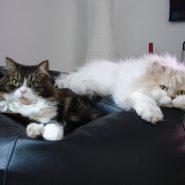 Enfermedades virales Felinas
