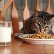 Los gatos y su plan de alimentación