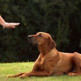Ordenes de Obediencia para Perros