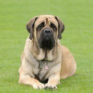 Perros de Guardia y Protección