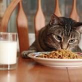 Cómo alimentar un gato adulto
