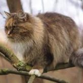 Conoce el Gato Alemán de pelo Largo