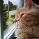 Las razas de Gatos más Cariñosas