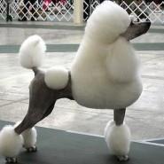 Los peinados para perros