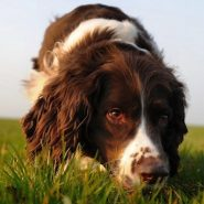 Perro de raza English Springer Spaniel
