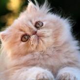 Aseo y cuidados del gato Persa