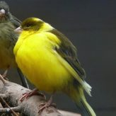 Enfermedades comunes en los Pájaros