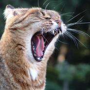 Maullido de los gatos