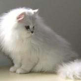 Raza de Gato Persa Chinchilla